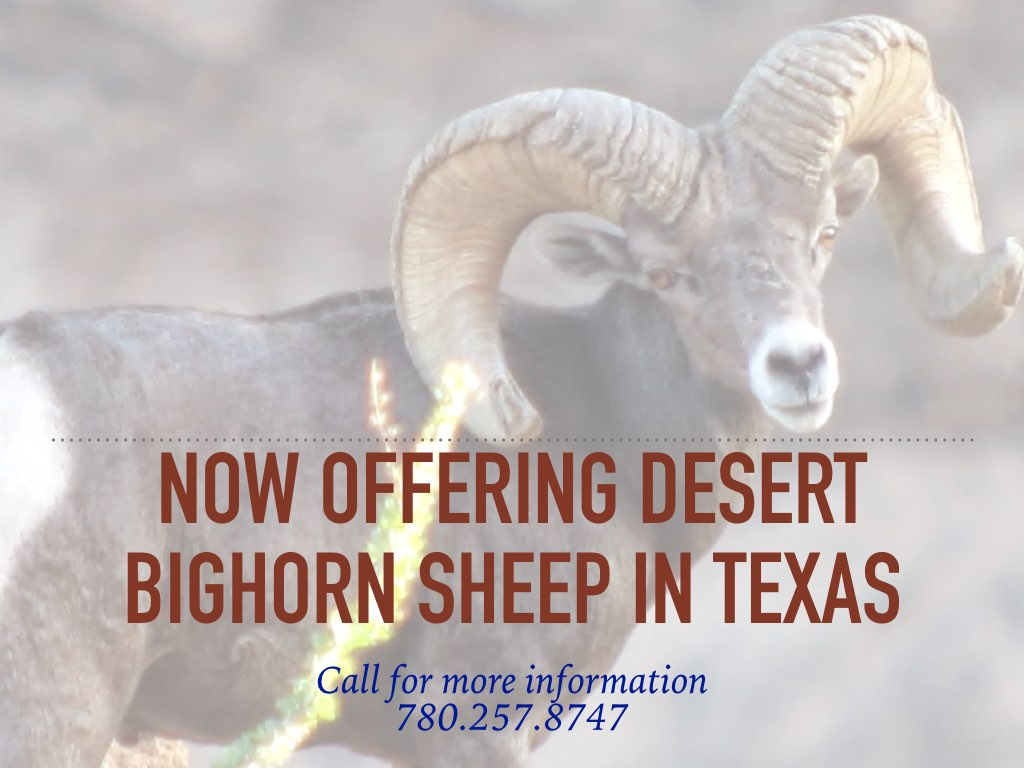 Sheep in Texas