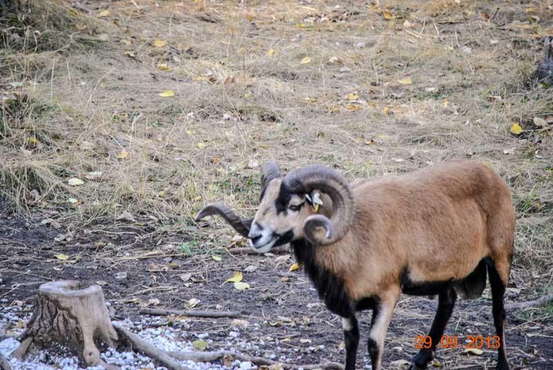 Corsican Ram 1