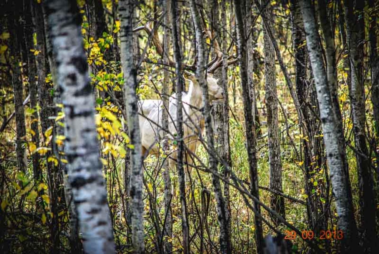 White Russian Elk 1