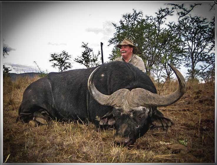 Cape Buffalo 2