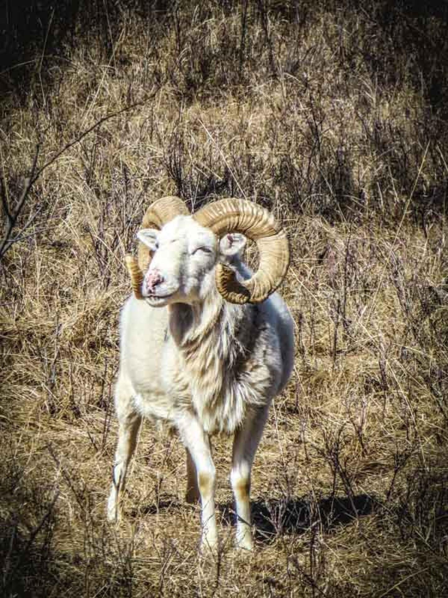 Dall Ram 2